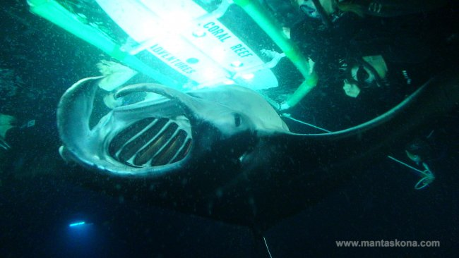 Night Snorkelling with manta rays. So cool!